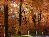 обои осень - пожелтевшие деревья