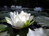 Обои лилии