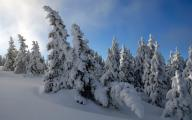 обои - зима, заснеженные ели