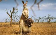 """прикольные обои - кенгуру с """"сыночком"""""""